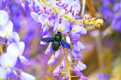Insects Bumble-bees collect nectar from the flowers. stock photography
