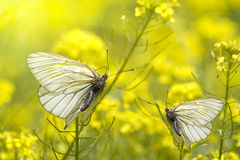 Insects butterfly Royalty Free Stock Photos