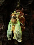 Insects: cicada emergence Northeast Field Royalty Free Stock Photo
