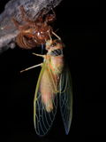 Insects: cicada emergence Northeast Field Stock Photography
