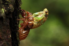 Insects: cicada emergence Northeast Field Royalty Free Stock Image