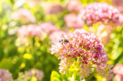 Insects collecting pollen from flowers of the spirea at the beautiful blurred background.  Stock Image