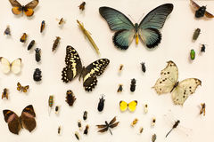 Insects collection. Vintage collection of preserved butterflies and other insects Stock Image