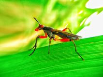Insects colored. And beautiful on leaves Rice Stock Images