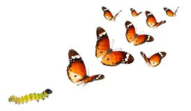 Insects and colors in the wildlife. Butterflies of African monarch, Danaus chrysippus, migrating flight and caterpillar isolated on a white background. Insects stock photos