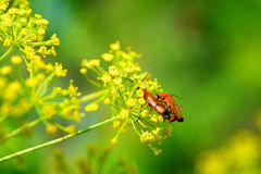 Insects copulating Royalty Free Stock Images