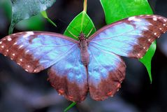 INSECTS- Costa Rica- Beautiful Blue Morpho Butterfly