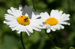 Insects on daisy Royalty Free Stock Image