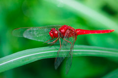 Insects, Dragonfly Royalty Free Stock Images