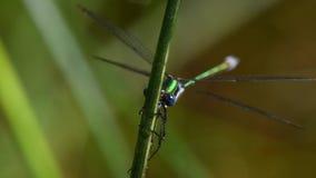Emerald damselfly, damselfly, lestes sponsa. Insects - emerald damselfly, damselfly, lestes sponsa stock video