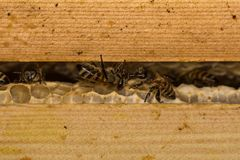 Honey bees & x28;Apis mellifera& x29; on honey comb in hive. Insects in the family Apidae greeting one another while on cells within their nest royalty free stock photography