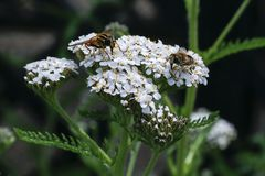 Insects feeding on flowers of Yarrow Achillea Millefolium. A medicinal herb traditionally used for its anti-inflammatory properties royalty free stock photo