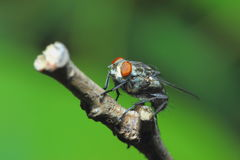 Insects, flies,animals. Royalty Free Stock Photos
