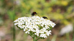 Insects on a flower. Insects, butterflies on a white flower looking for nectar stock video