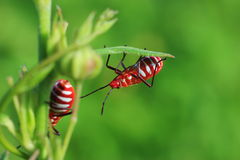 Insects. Fresh-cut red and green of the leaves. Really beautiful Royalty Free Stock Photo