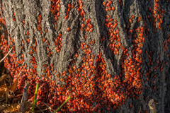 Insects. Hundreds of red insects on a tree Stock Image