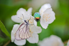 Insects on Jasmine flowers Stock Photography