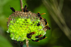 Insects. Laying Eggs Stock Photography