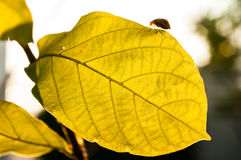 Insects on the leaves in the evening. Sunset Royalty Free Stock Photo
