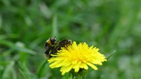 The insects mate on a yellow flower. Flies multiply. Wild bees.  stock video