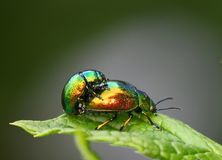 Insects mating Royalty Free Stock Photo