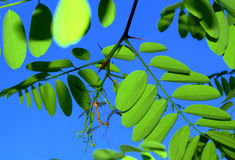 Insects mating bright green leaves Stock Photos