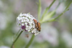 Insects mating on flower Stock Photo