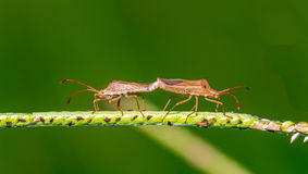 Insects mating on grass flower Stock Photo