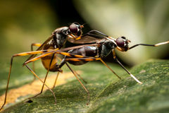 Insects Mating Royalty Free Stock Photos
