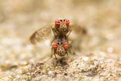 Insects mating On stone Stock Photography
