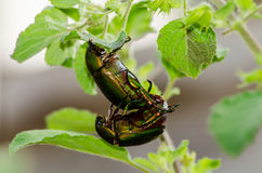 Insects mating Stock Photo