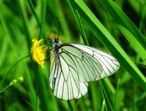 Insects of meadows. White butterflies collect nectar from flowers Royalty Free Stock Image