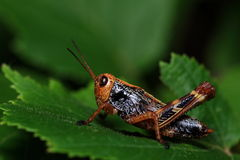 Insects: Northeast Field grasshopper Stock Image