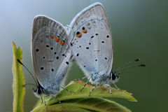 Insects: Northeast flatter field gray butterfly Stock Images