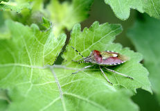 Insects, pentatomidae Royalty Free Stock Photos