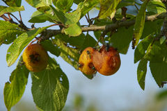 Insects on Plums Stock Image