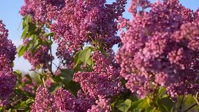 Insects pollinate flowers of lilac, lilac blossom tree in the garden in spring, flowering tree against a blue sky. stock footage