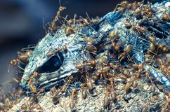 Insects Red ants eat lizard stock images