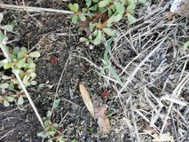 Insects red and black. Two insects red and black walking through the earth and between the plants and leaves royalty free stock photo