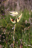 Insects on Seed Pods royalty free stock photography