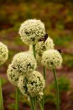 Insects sitting on globular inflorescences of onions royalty free stock photo