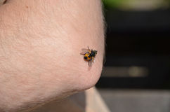 Insects sitting on the skin. On his elbow and sucking blood Royalty Free Stock Images