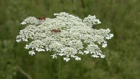 Insects on a white wild flower in a field, umbelliferae.Drink nectar and collect pollen. Rare species of beetles stock video