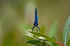 Insects, world of insects, river, flaying, Calopteryx maculata , Odonata, , Calopterygidae. Calopteryx maculata Beauvois, Insects, world of insects, river royalty free stock photography