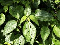 Insectspoor op de bladeren Stock Afbeeldingen