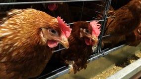 Insediamento rurale di strato, incubazione dell'uovo o uova del pollo immagine stock
