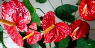 Insegna dei fiori dell'anturio fotografia stock libera da diritti