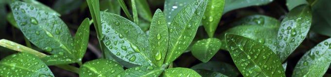 Insegna del cespuglio verde dopo pioggia fotografia stock
