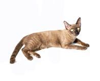 Insegna del gatto birmano Immagini Stock