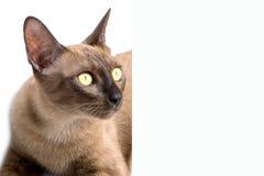 Insegna del gatto birmano Fotografia Stock